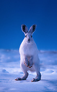 Image of an arctic hare (Lepus arcticus) standing on hind legs gazing forward on a snowy landscape in Montana, Pacific Northwest by Randy Wells