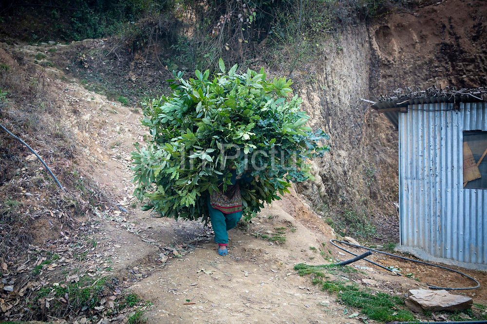 A woman carrying a huge mound of leaves along a track on the 13th of March 2020 in the Dakshinkali area, Kathmandu District, Bagmati Pradesh, Nepal.  Leaves and branches are collected from the forest and used for animal feed and bedding, particularly over the winter months.