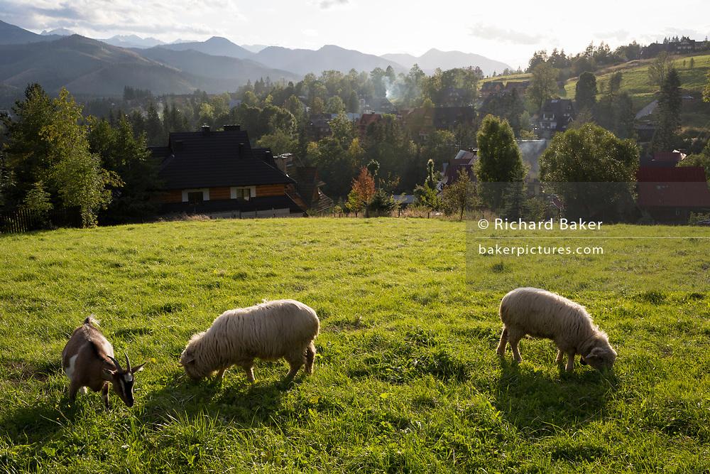 Sheep graze on agricultural land above a village that overlooks the Tatra mountains, on 16th September 2019, in Koscielisko, Zakopane, Malopolska, Poland.