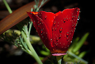 A scarlet red California poppy seems to glow, as it drips with raindrops<br />