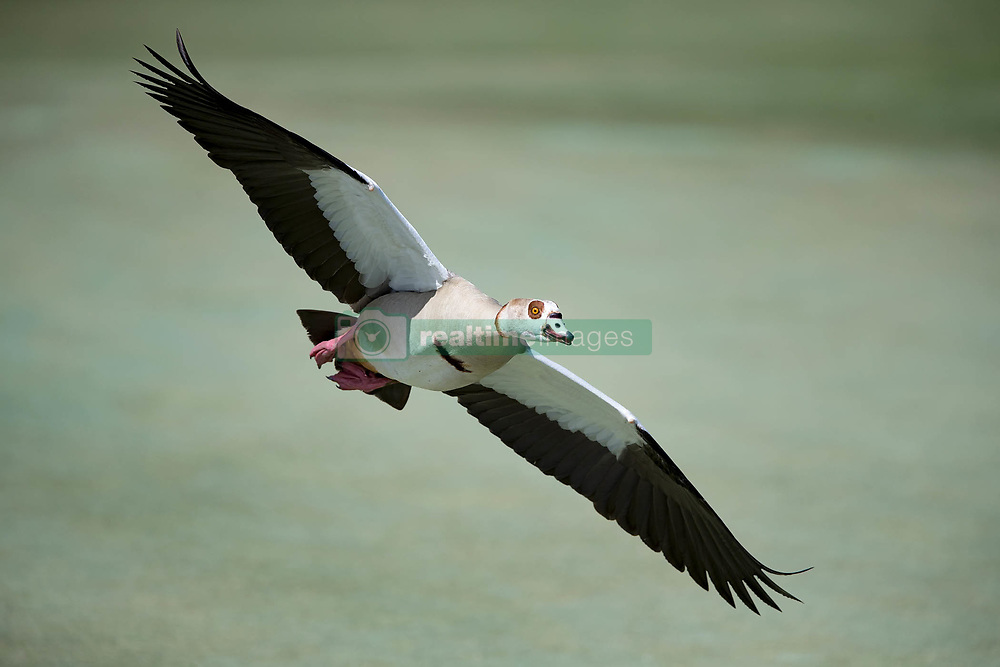 February 25, 2018 - Palm Beach Gardens, Florida, U.S. - An Egyptian goose flies over the third hole during the final round of the Honda Classic at PGA National Resort and Spa in Palm Beach Gardens, Florida on February 25, 2018. (Credit Image: © Allen Eyestone/The Palm Beach Post via ZUMA Wire)