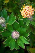 Protea, Enchanting Floral Gardens, Kula, Maui, Hawaii