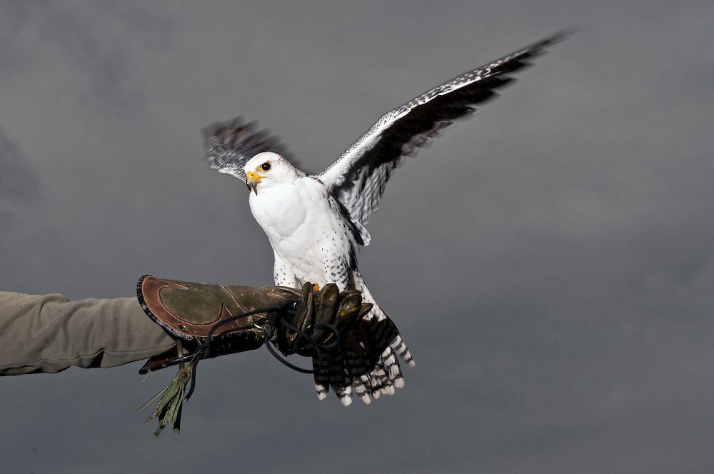 Europa,Deutschland, NRW,Nordrhein-Westfalen, Ein Sakerfalke sitzt flügelschwingend auf dem Handschuh eines Falkners; der Sakerfalke, die Sakerfalken<br /> engl. Saker falcon,ornithologisch lat. -Falco cherrug    Europe, Germany, falconry, Falcon, Sakerfalcon,Falco cherrug    