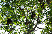 The Seychelles fruit bat or Seychelles flying fox (Pteropus seychellensis) is a megabat found on the granitic islands of Seychelles, and on the Comoros and Mafia Island. It is a significant component of the ecosystems for the islands, dispersing the seeds of many tree species. Although it is hunted for meat on some islands, it remains abundant. Fruit bats only feed on nectar, pollen and fruit, and do not possess echolocation. Photographed in Seychelles