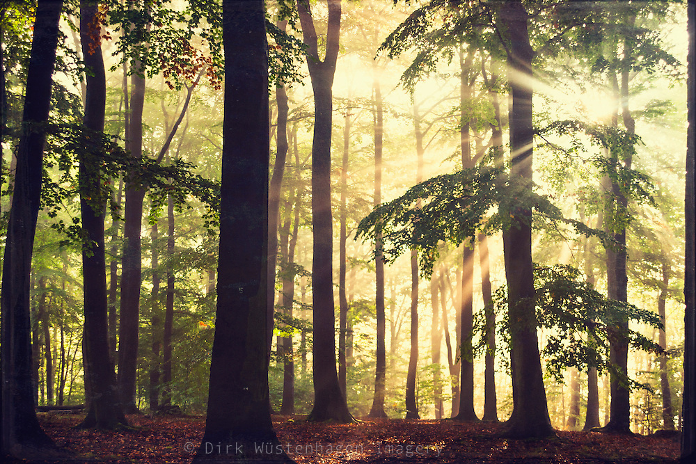 Beech tree forest in hazy morning light. Texturized photograph