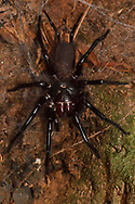 Japanese funnel web spider, Macrothele gigas, Shedi Forest Park, Kenting National Park, Taiwan