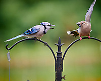 Blue Jay, Mourning Dove. Image taken with a Nikon D850 camera and 200 mm f/2 VR lens