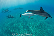 Hawaiian spinner dolphins or long-snouted spinner dolphins, or Gray's spinner dolphins, Stenella longirostris longirostris, calf nursing from mother, Hookena, Kona, Hawaii ( the Big Island ) Central Pacific Ocean MR 410