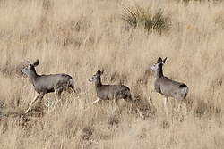 Mule deer in grass, Ladder Ranch, west of Truth or Consequences, New Mexico, USA.