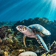 A hawksbill sea turtle (Eretmochelys imbricata) feeds on sponges on a coral reef off Moalboal, Philippines.