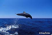 bottlenose dolphins, Tursiops truncatus (c-r)<br /> jump sequence (#3 of 4)<br /> Roatan, Honduras ( Caribbean Sea )