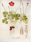 Purple Woodsorrel (Oxalis purpurea). Illustration from 'Oxalis Monographia iconibus illustrata' by Nikolaus Joseph Jacquin (1797-1798). published 1794