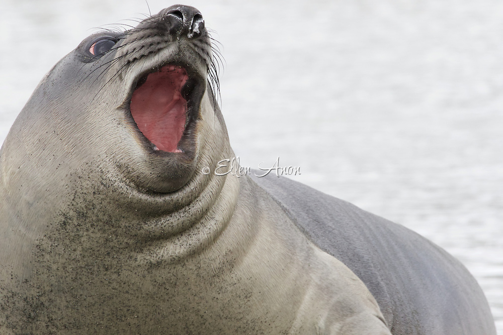 Elephant Seal, South Georgia Island