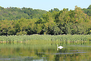 The swan seems to be enjoying his morning patrol around this placid Manistee River backwater pond.