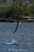 Hawaiian spinner dolphin or Gray's spinner dolphin, Stenella longirostris longirostris, jumping, Kona, Hawaii ( the Big Island ), USA ( Central Pacific Ocean )
