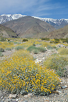 Spring wildflowers, Hanaupah Canyon, Death Valley National Park, California