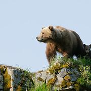 Brown Bear, mother and cubs, Alaska