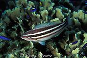 striped parrotfish, juvenile ( initial phase )<br /> Scarus croicensis<br /> Bahamas ( Atlantic Ocean )