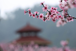 Photo taken on March 13, 2016 shows peach flowers blooming in a garden in Longxi Town, Zunyi City of southwest China's Guizhou Province. Spring scenery attracts visitors as the temperature climbs up across China. EXPA Pictures © 2016, PhotoCredit: EXPA/ Photoshot/ Huang Xiaohai<br /> <br /> *****ATTENTION - for AUT, SLO, CRO, SRB, BIH, MAZ, SUI only*****