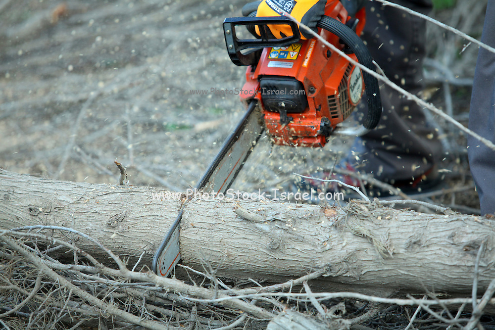 Forester uses a chain saw to cut up a tree trunk for firewood