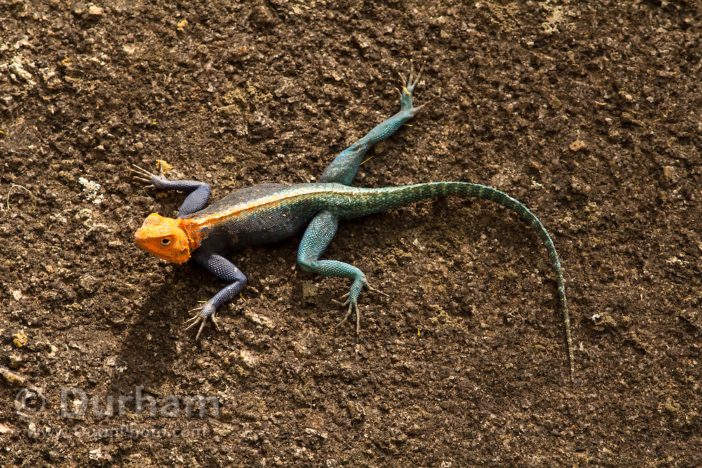 An adult male Red-headed Rock Agama (Agama agama) in Matobo National Park, part of the Motopos Hills area in Zimbabwe. The park is an U.N. UNESCO World Hertiage Site. © Michael Durham / www.DurmPhoto.com