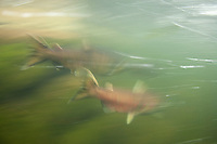 Underwater view of Salmon in Fall Creek, Oregon. Salmon feed entire ecosystems when they return to their natal rivers. From animals to humans to insects to streamside vegetation.