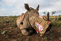 A young white rhino lies partially sedated with eyes covered while its mother that is lying nearby, has her horns removed by a veterinarian. Young calves are immobilized at the same time as their mothers to prevent separation of the pair and to reduce stress. Where the calf is old enough, its horn stumps too will be removed.