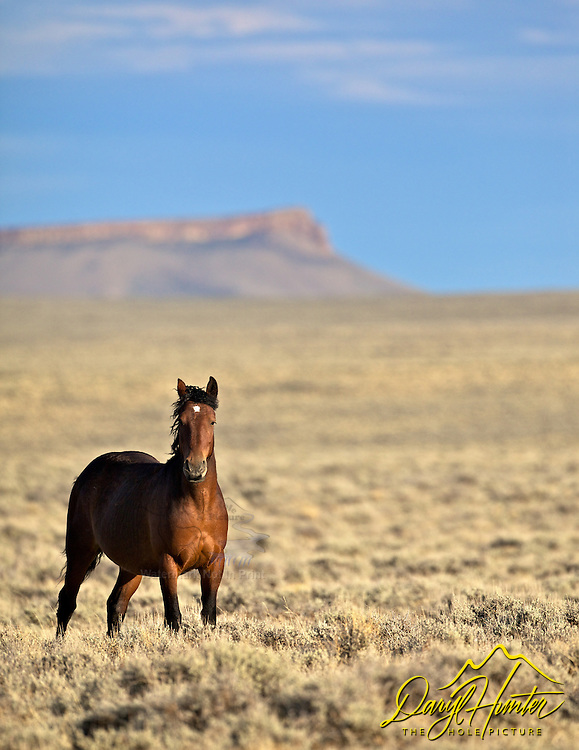 Wyoming Mustang Bay Stallion standing strong and proud in Iconic American West.