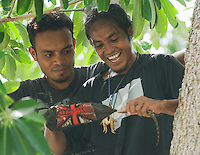 Using his sock as a glove, Timorese student Laca Ribeiro captures a tokay gecko, Gekko gecko, in a tree in the Liquica district of Timor-Leste (East Timor), while Luis Lemos watches. They are participating in an ongoing survey of Timorese reptiles and amphibians.