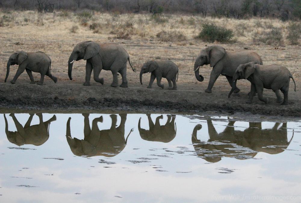 Africa, South Africa, Madikwe. Elephant herd walking at water's edge before dusk.