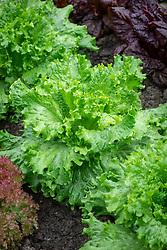 Lactuca sativa 'Lettony' - Lettuce