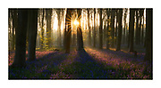 Morning light filters through the beech forest illuminating the bluebell carpet in radiating lines. A double sunstar shines through the canopy.