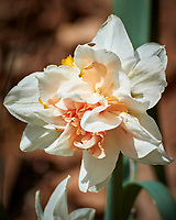 Daffodil. Image taken with a Nikon 1 V3 camera and 70-300 mm VR lens.