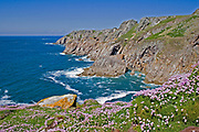 Sea cliffs on the west coast of Lundy island with thrift and yellow lichen, Bristol Channel, U.K.