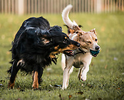 Bently, Saluki Collie Cross with Blue, the small terrier cross breed playing with a ball in the park