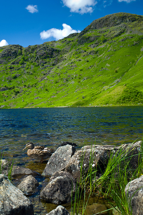 Mallard ducks in lakeland countryside at Easedale Tarn lake in the Lake District National Park, Cumbria, UK