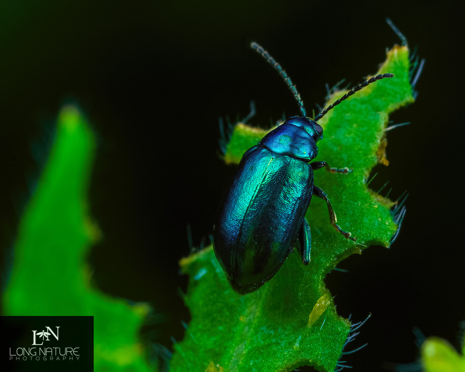 Altica Sp.  Flea Beetle, possibly Lysanthia ludoviciana.  Photographed in Lady Lake FL USA