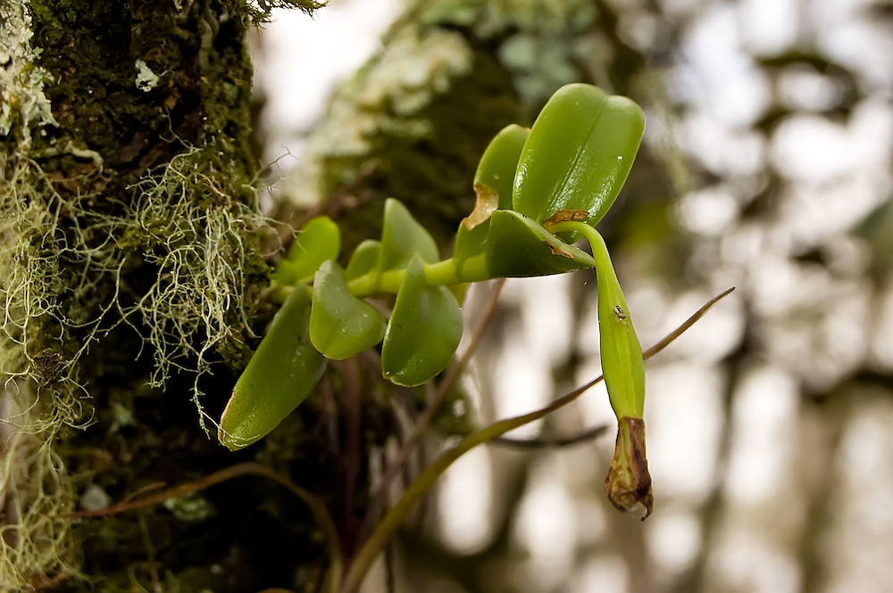 Florida star orchid with fruit deep in the Big Cypress National Preserve. I have yet to see this one in flower in the wild - only in a cultivated one, but as soon as I do, I'll put it in this spot.