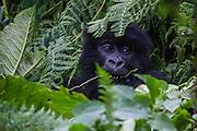 A close-up of an endangered mountain gorilla(Gorilla beringei beringei) peeking out from behind vegetation, Volcanoes National Park, Volcanoes National Park, Rwanda