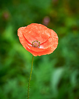 Red Poppy. Image taken with a Leica SL2 camera and 90-280 mm lens.