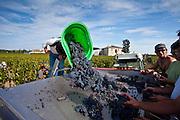 Wine harvest, vendange, Cabernet Franc grapes picked and sorted by hand at Chateau Lafleur, Pomerol, Bordeaux, France