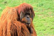 Sumatran orangutan (Pongo abelii or Pongo pygmaeus abelii) In a zoo