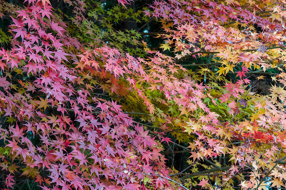 Autumn colours of the maple trees.