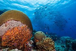 A huge school of Bigeye Trevally, Caranx sexfasciatus, create a living tornado around a lucky diver on the edge of a coral-encrusted drop-off. Pulau Koon, Banda Sea, Indonesia, Pacific Ocean