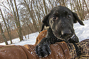 One of John Haugland's Labrador retriever puppies.