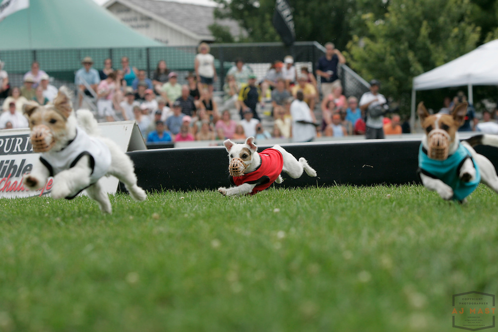 08 August 2009: Dogs compete in the Purina Incredible Dog Challenge at the Indiana State Fair in Indianapolis.