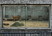 A cheetah at Tama Zoo, Hino, Tokyo, Japan Sunday, March 24th 2013