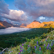 lupine, and cinquefoil grow wild in the the rocks and medows  Two Medicine Valley, GNP, Rising Wolf Mtn  background, blackfeet reservation, montana, crown of the continent