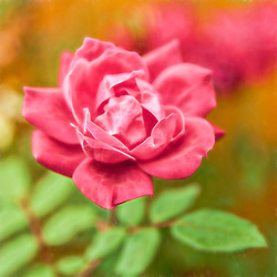 A pink rose blooming in the garden late in the season
