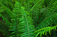 Western Sword Fern, Kitsap Peninsula, Puget Sound, Washington state, USA